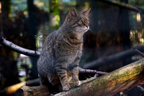 Wildcats at RZSS Highland Wildlife Park are part of the Scottish Wildcat Action captive breeding program.